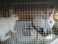 apocalypselivestock-rabbits