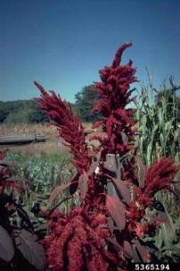 amaranthgrowing